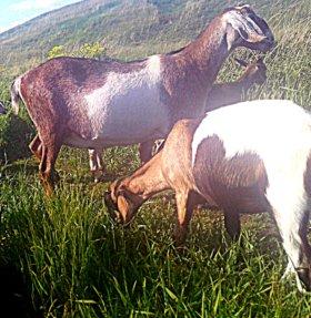 Козье молоко от породистых коз