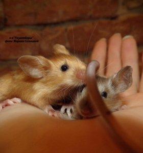 Декоративные мышата сатины.