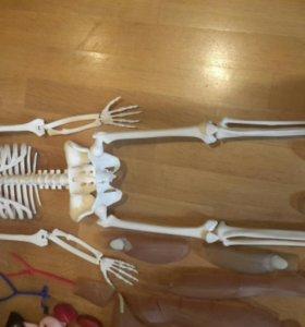 "Скелет человека ""Артем"""
