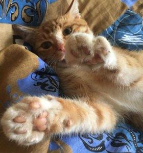 кот-воркот, рыжий живот