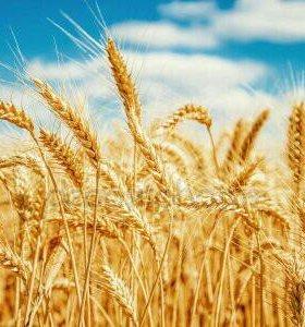 Пшеница, ячмень,овес