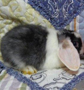 Кролик, порода вислоухий баран.