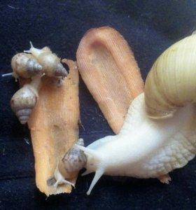 Ахатина альбино боди