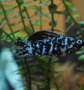 Рыбки  Моллинезии Долматы