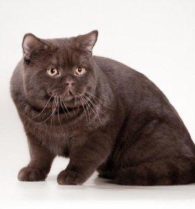 Вязка шоколадный британский кот