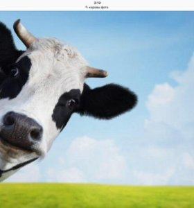 Наши Любимые Коровушки-Кормилицы!