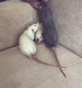3 крысы дамбо с клеткой