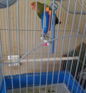 Попугай неразлучник, девочка