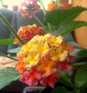 Лантана  - укор. черенки, и цветущий куст