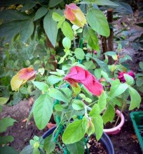 Белопероне - укорененные чер. и цветущий куст