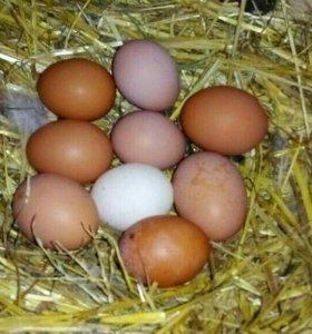 Куриные яйца домашних кур