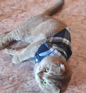 Вязка с шотландским веслоухим  котом