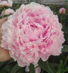 кусты, цветы, букеты. пионы. Лилейники