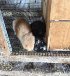 Продаются Кролики французский баран 300₽ месяц