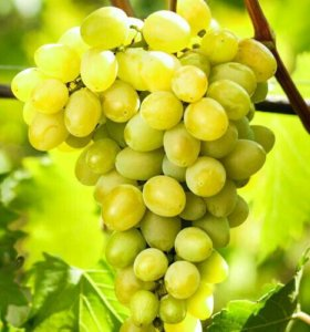 "Виноград сорта -""Августин"""