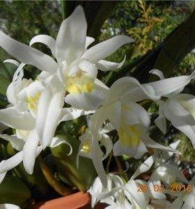 Орхидеи целогина Интермедия