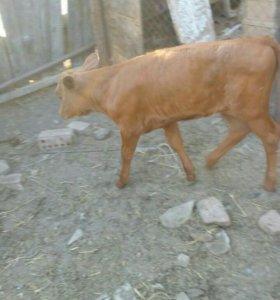 Корова с тёленком