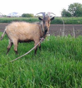 Чешский козел продам или обмен на корма