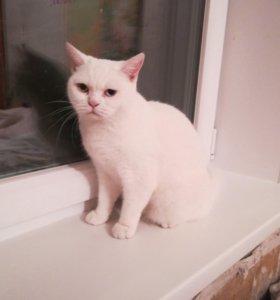 Кошка Khao Manee