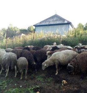 Продам овец не дорого