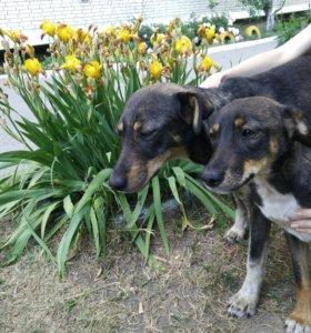 две молодые стерилизованные собаки ищут хозяев