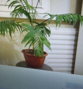 хамедория пальма