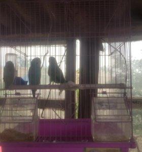 Попугайчики вместе с клеткой