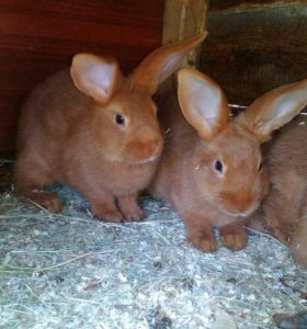 Кролики Новозиланцы красные,калифорния и  помесь.