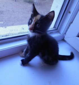 Котёнок сиамской кошки.