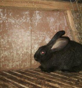 Кролики (Немецкий ризер)