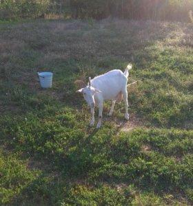 Продам козу 2.5 года