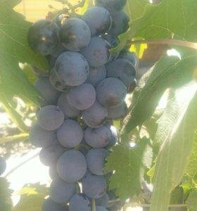 Продаю виноград