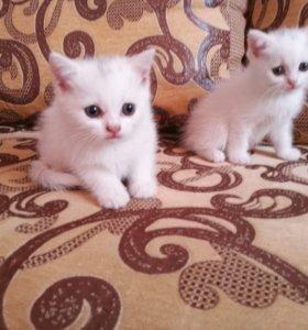 Шотландские котики