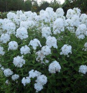 Флоксы белые - цветы садовые