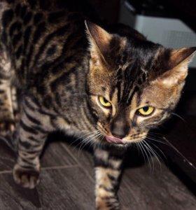 Бенгальский кот в ответственные руки