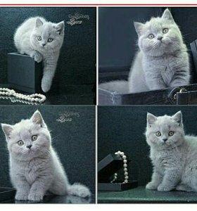 Голубые британские котята из питомника.