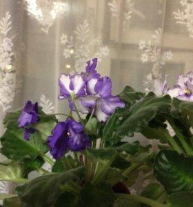 Сенполия (фиалка) цветущая