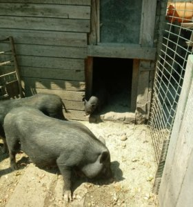 Ветнамские свини 2.5 месяца