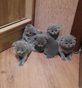 Котята вислоухие породистые