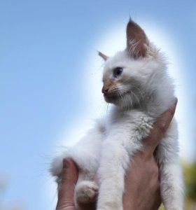 Сиамский (тайский) ред-пойнт, котик