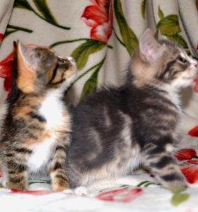Котята от родителей крысоловов