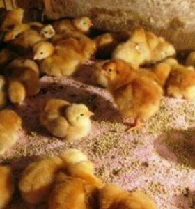 Цыплята мясо яичная порода