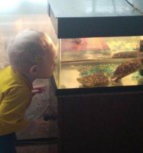 Продам красноухих черепахи с аквариумом