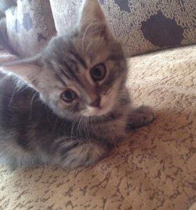 Продам шотландского котенка.