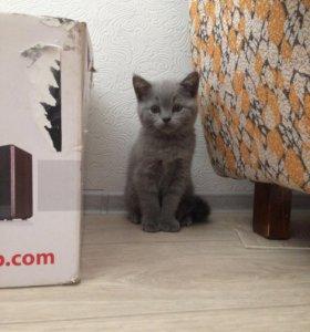 Котёнок Скотиш Страйд