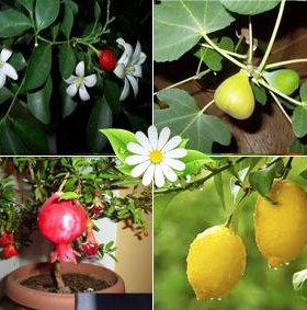 Плодоносящие комнатные растения