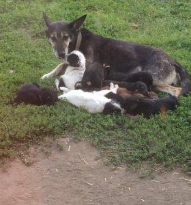 Отдам щенков овчарки в добрые руки!!!