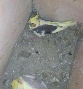 Молодые попугаи кореллы