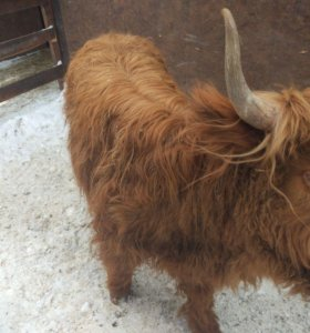 Шотландский скот пподам