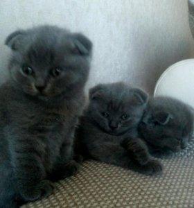 Продам котят (2 девочки и мальчик)